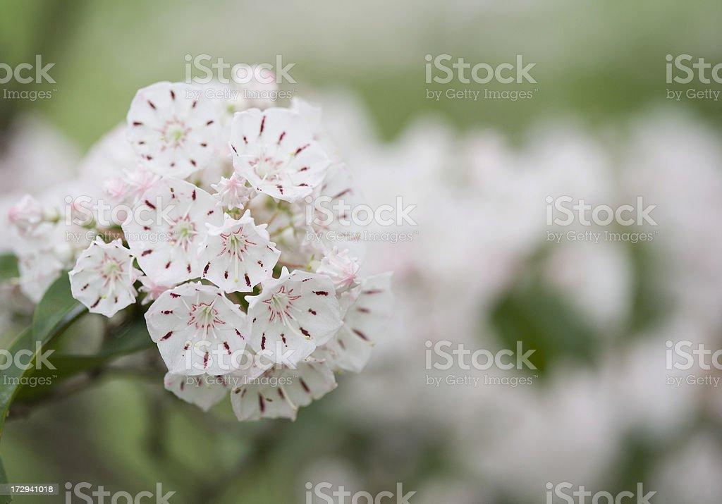 Spring Mountain Laurel Blossom stock photo