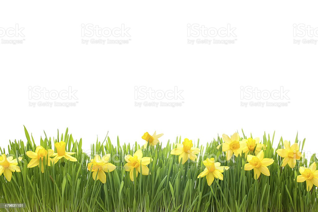 spring narcissus flowers in green grass stock photo