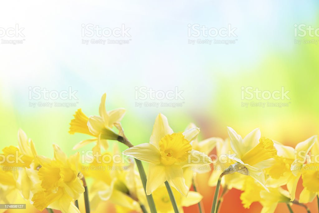 Spring narcissus on nature background stock photo
