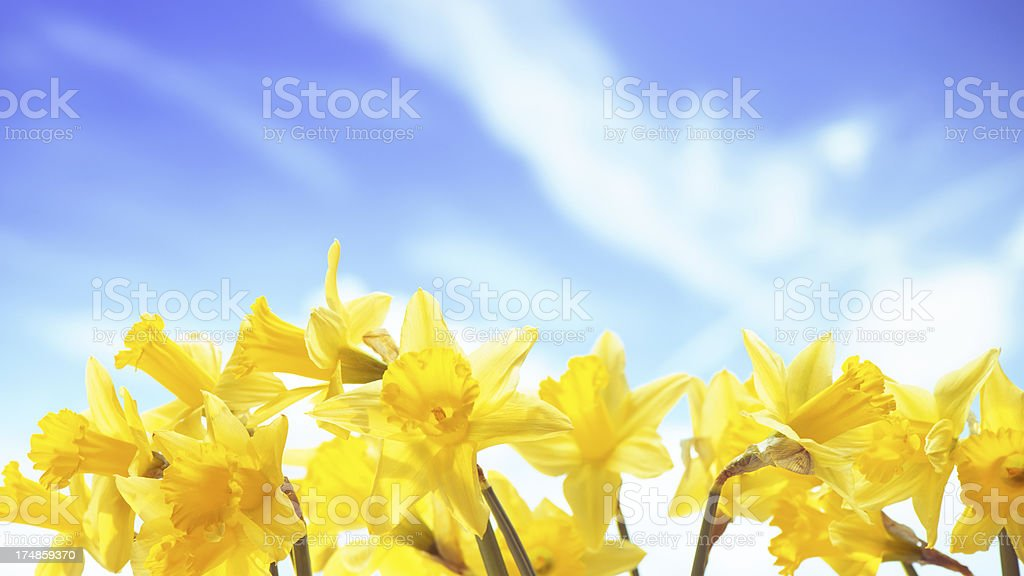 Spring narcissus on sky background royalty-free stock photo