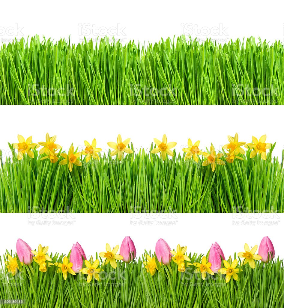 Spring narcissus tulip flowers. Green grass water drops stock photo