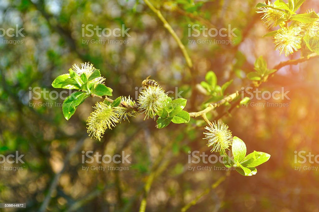 Spring natural  landscape - yellow fluffy buds of willow stock photo