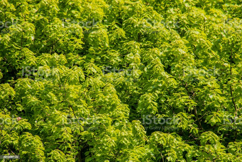 Spring new fresh leafs on tree in sunlight stock photo