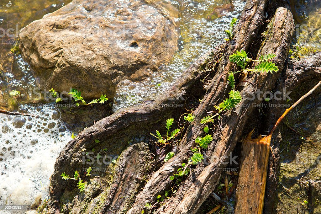 Spring new leaves on log in lake with water bubbles stock photo
