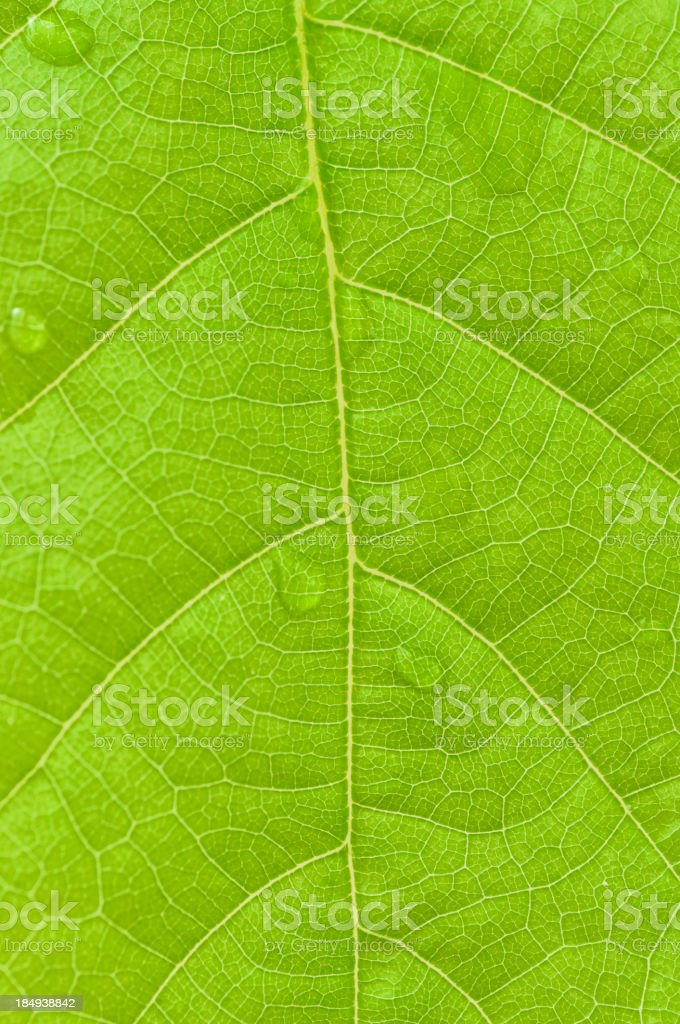 Spring oak leaf close up royalty-free stock photo