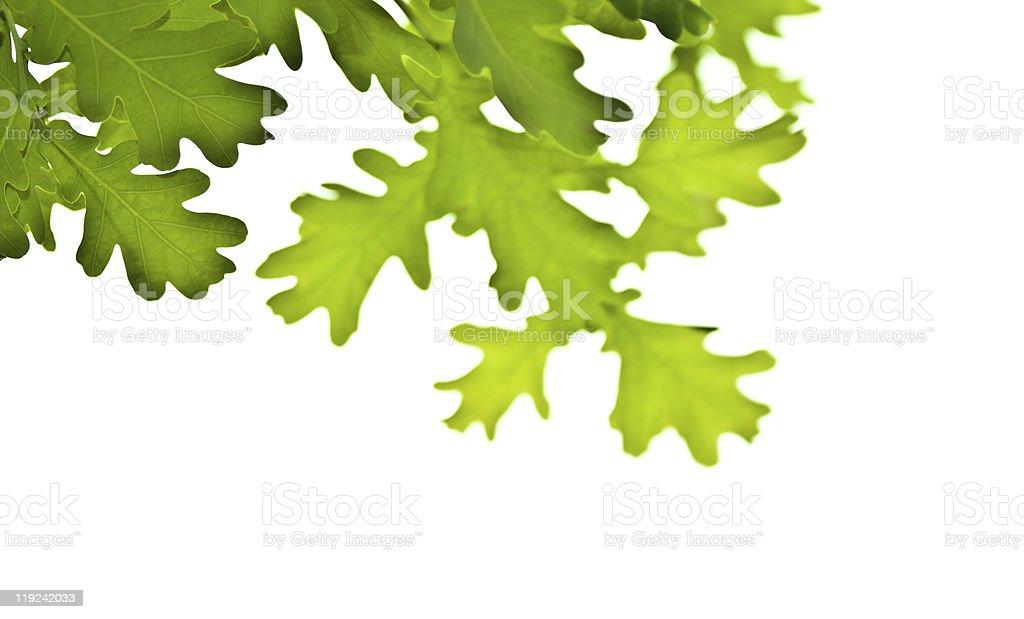 spring oak stock photo