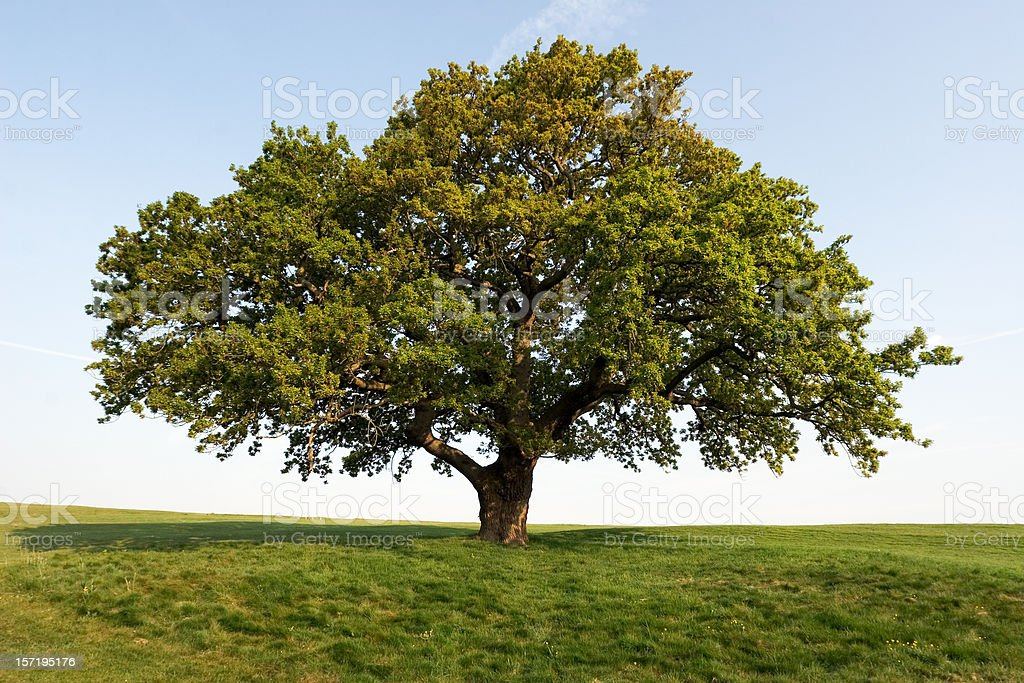Spring Oak royalty-free stock photo