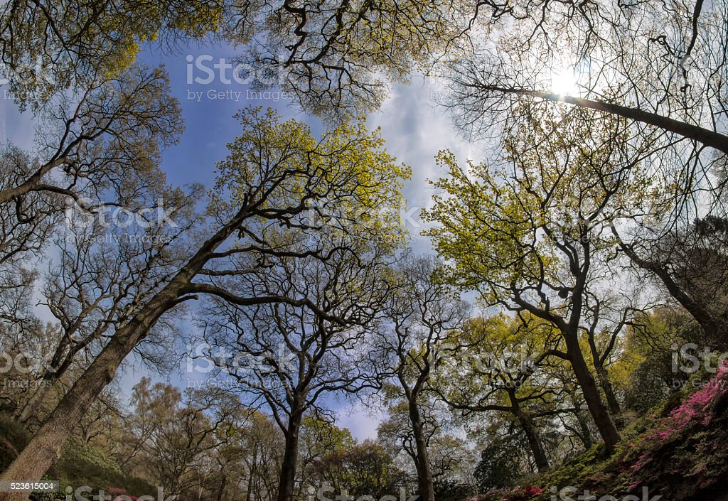 Spring, Oak Woodland, a Fish-eye view stock photo