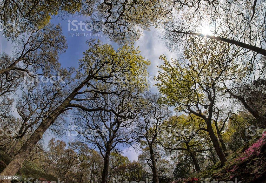 Spring, Oak Woodland, a Fish-eye view stock photo