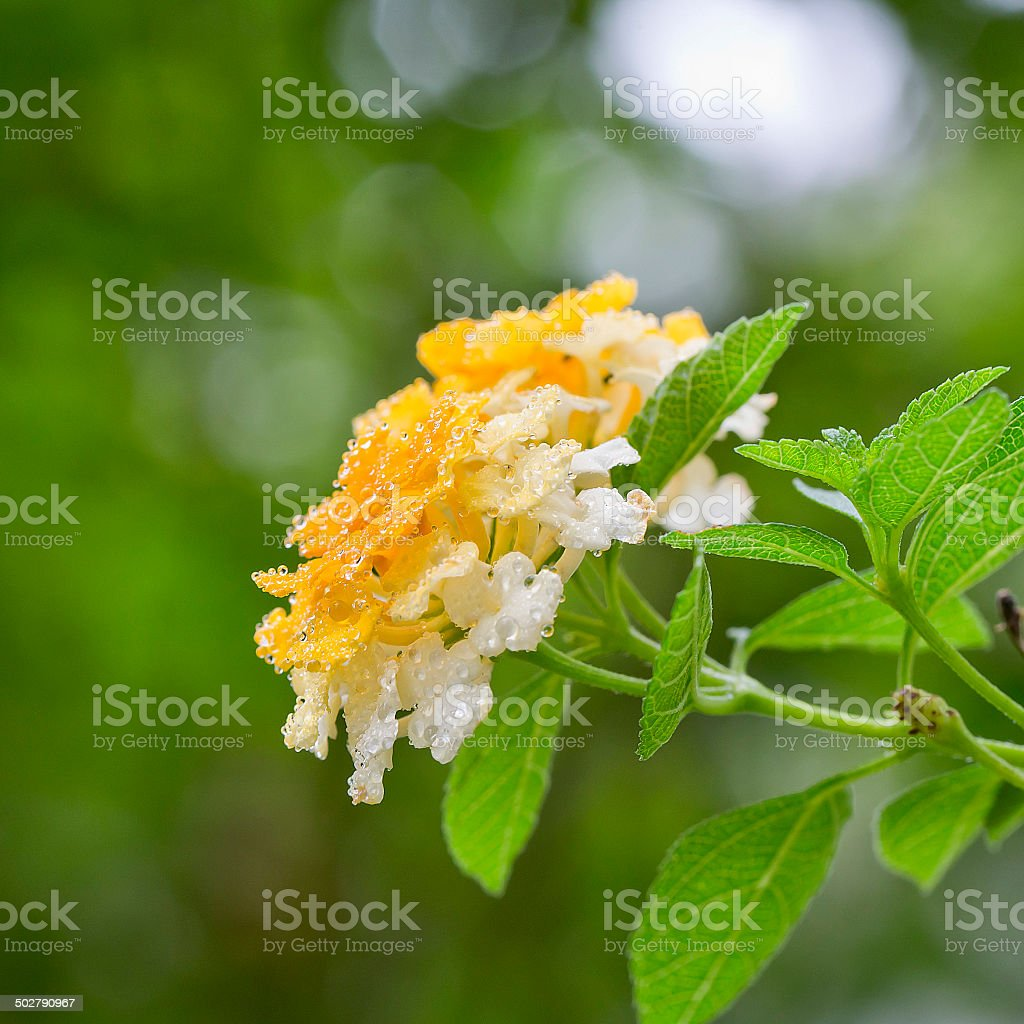 Spring of flower with water drops close up stock photo