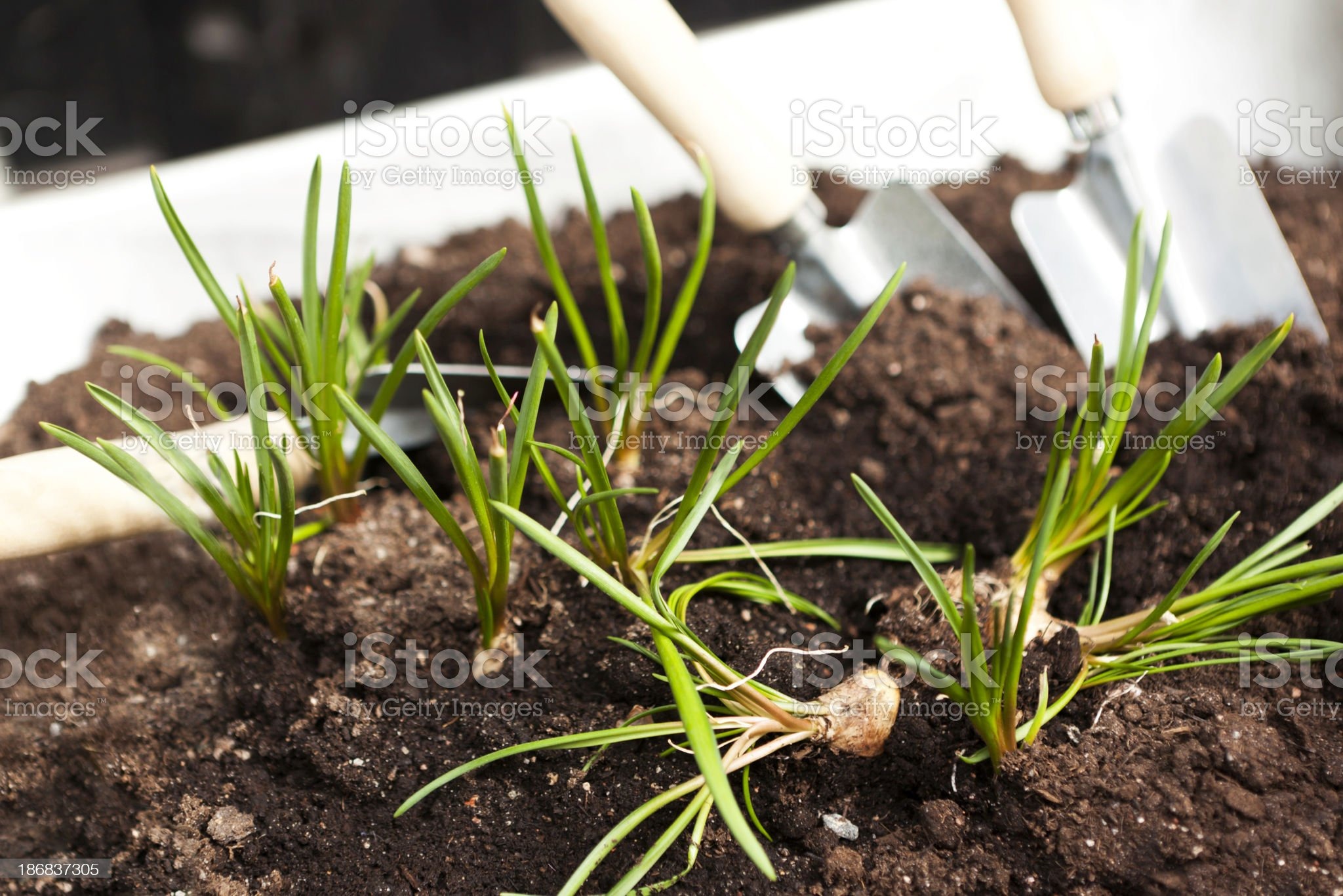 Spring onions in a vegetable garden with trowels royalty-free stock photo