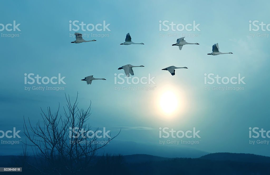 Spring or autumn migration of cranes stock photo