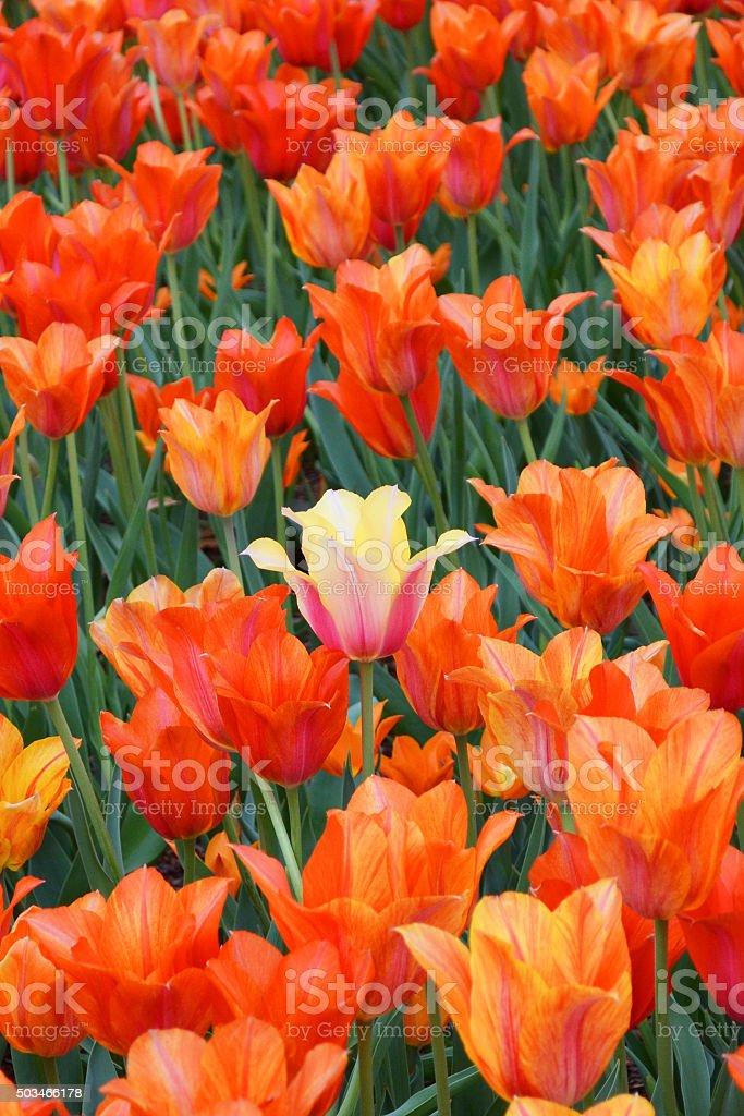 Spring Orange Tulips stock photo