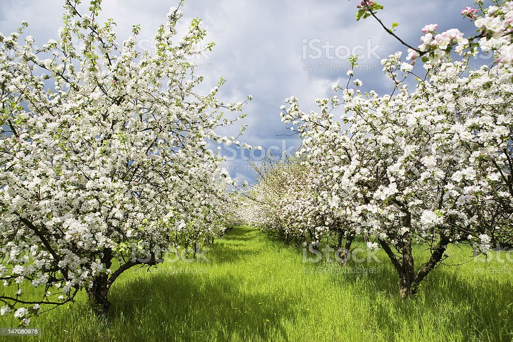 Spring orchard 2 royalty-free stock photo