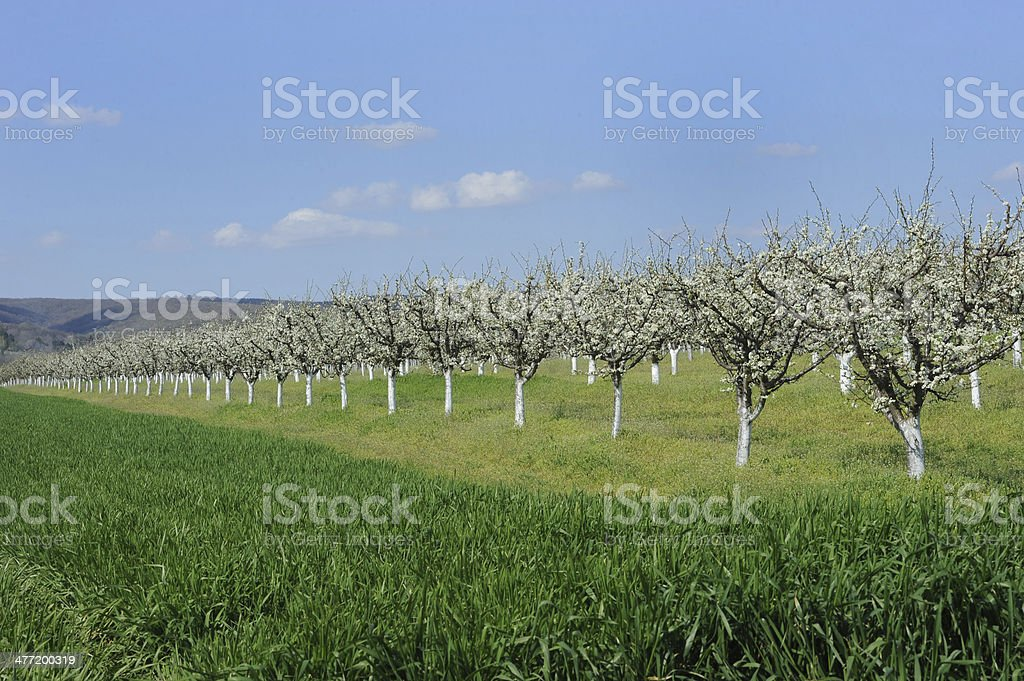 Spring Orchard - Blooming Trees royalty-free stock photo