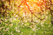 Spring orchard in Sunset Light
