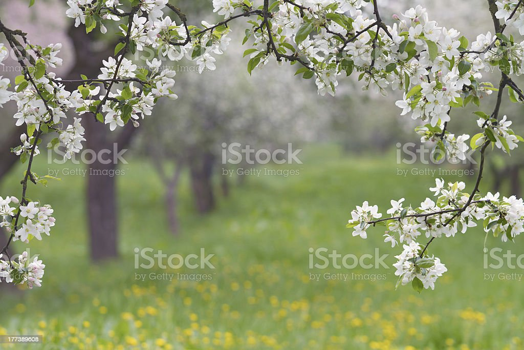 Spring Orchard. stock photo