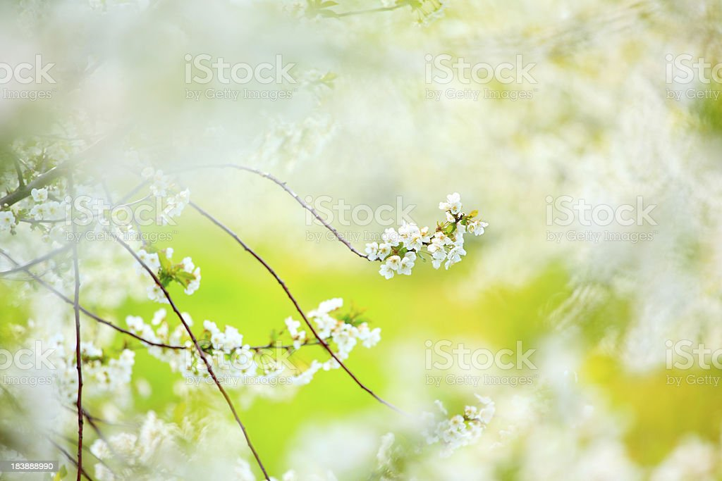 Spring orchard stock photo