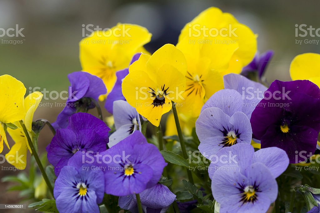 Spring Pansies yellow blue and purple royalty-free stock photo