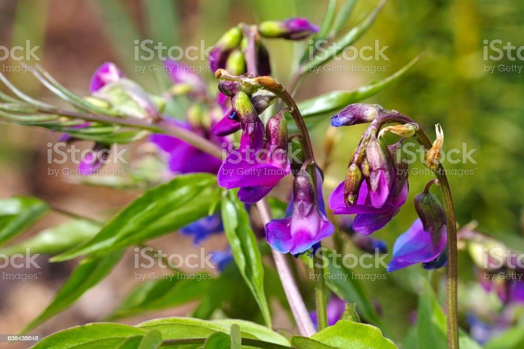 spring pea or Lathyrus vernus is blooming stock photo