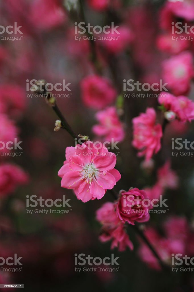 Spring peach flower blooming in the garden stock photo