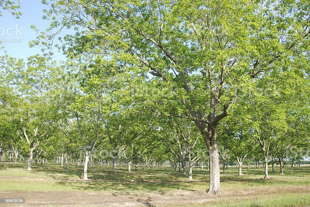 Spring Pecans stock photo
