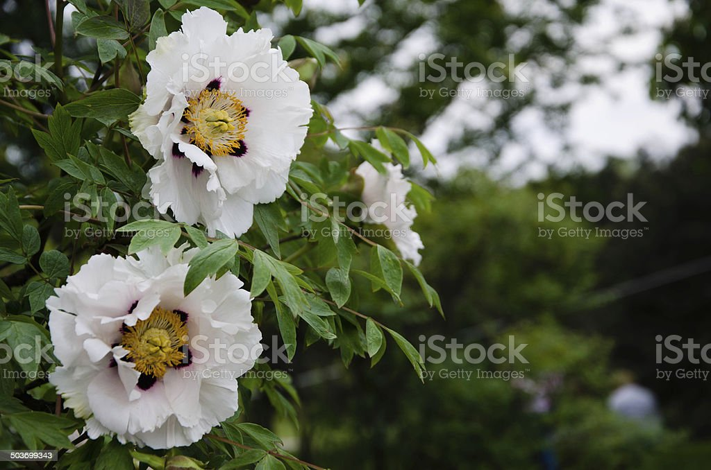 Spring peonies stock photo
