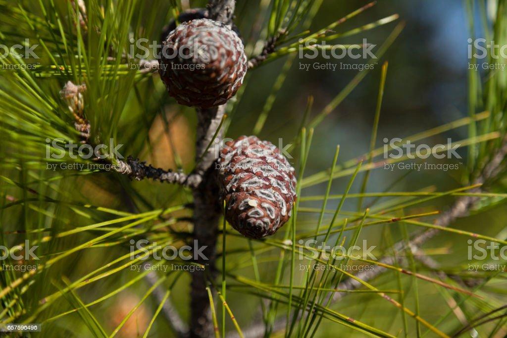 Spring Pine Cone stock photo