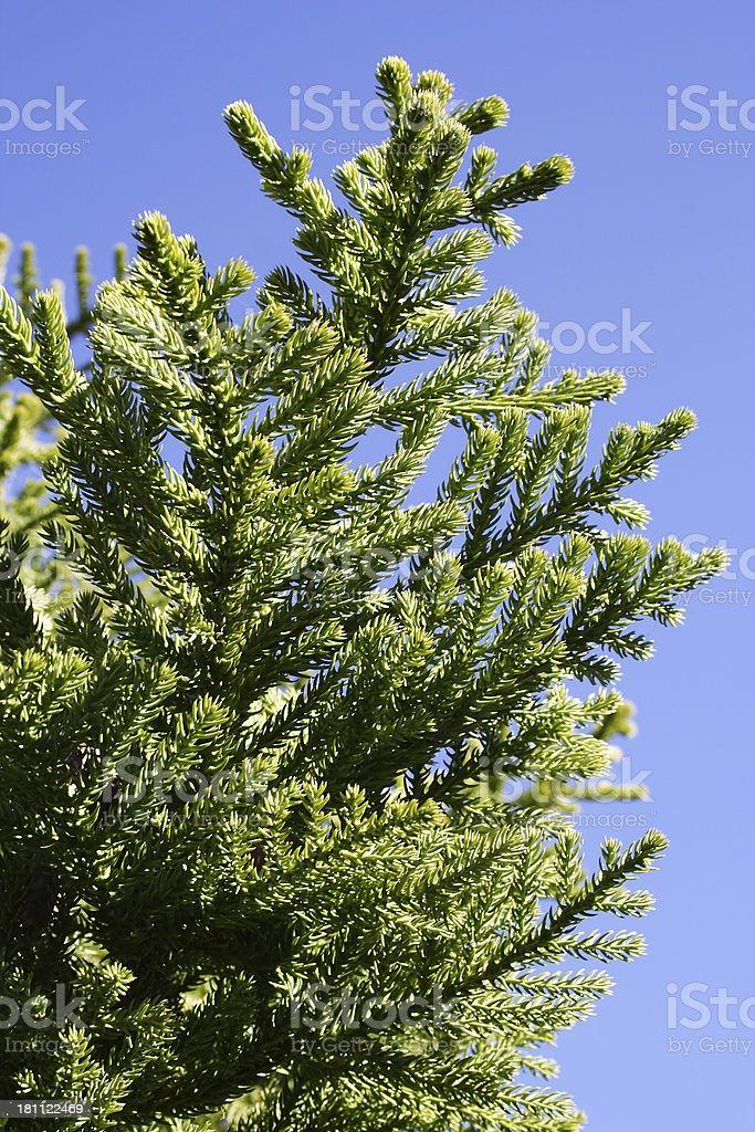 Spring pine royalty-free stock photo