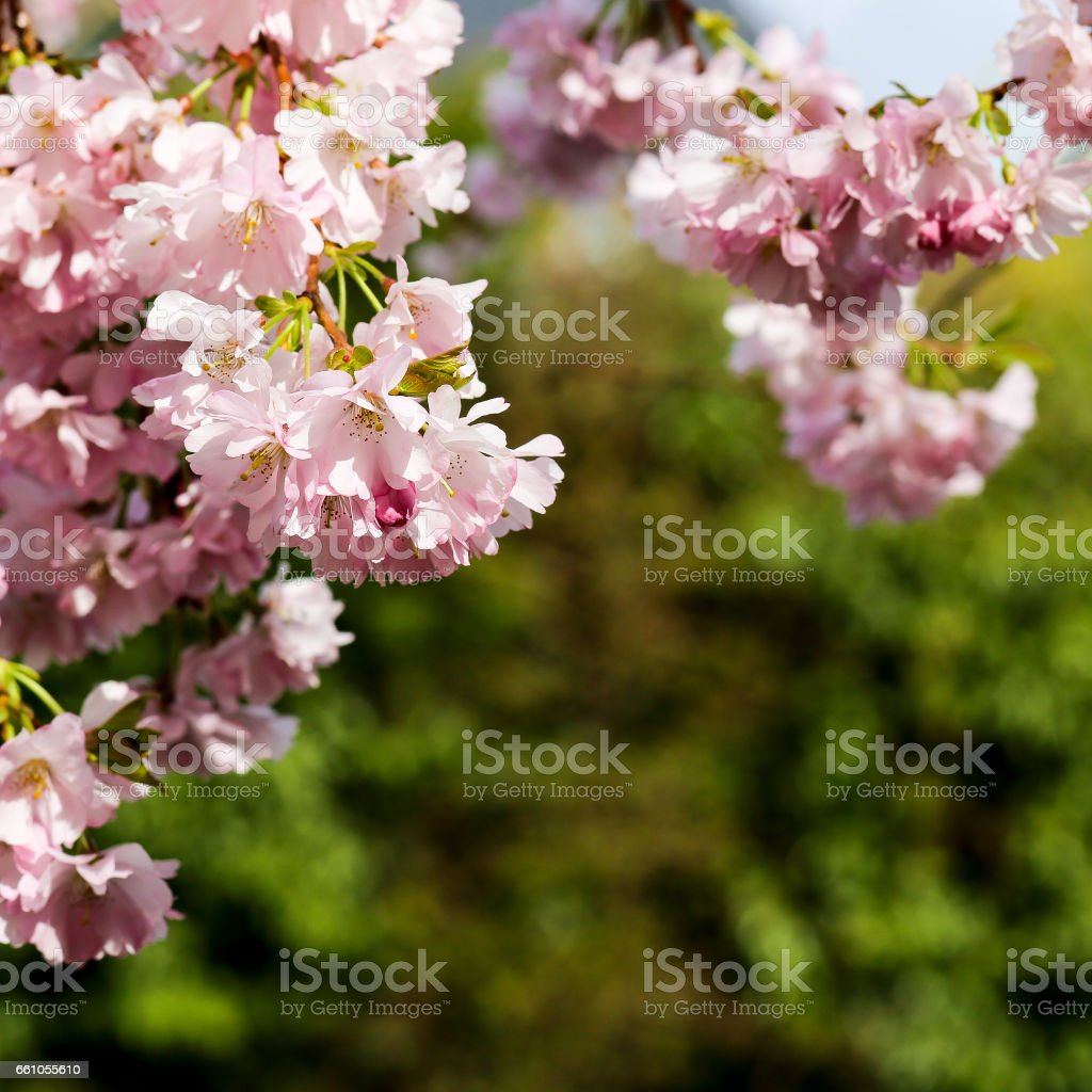 Spring pink flowers, Prunus Kanzan Kwanzan Cherry blossom stock photo