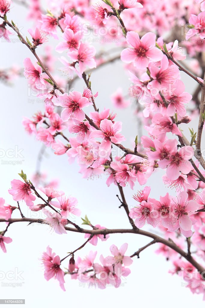 Spring Pink Nectarine or Peach Tree Blossoms stock photo