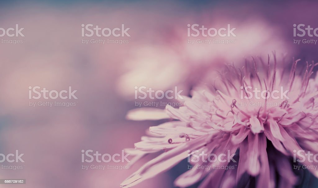 Spring  pink-blue background. Pink Dandelion flower on a purple background. Closeup. For design. Side view.   Nature. stock photo