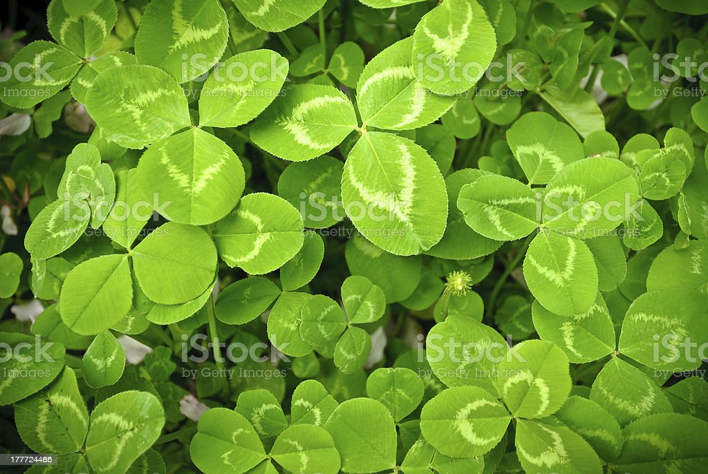 Spring plant clover royalty-free stock photo