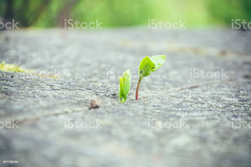 Spring plant growing up between paving stones stock photo