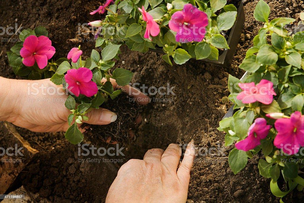 Spring Planting of Impatiens Hz stock photo