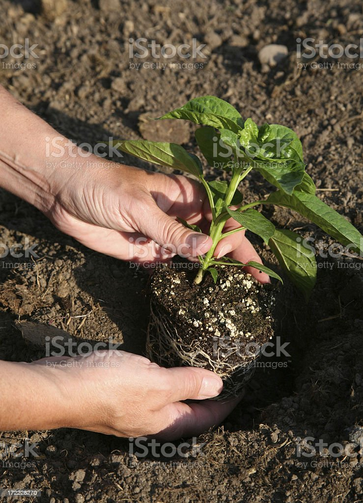 Spring Planting Peppers stock photo