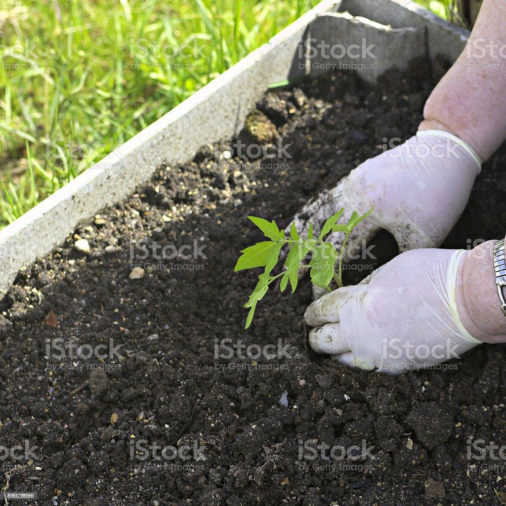 Spring planting. stock photo