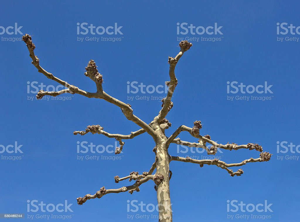 Spring platanus without leaves stock photo