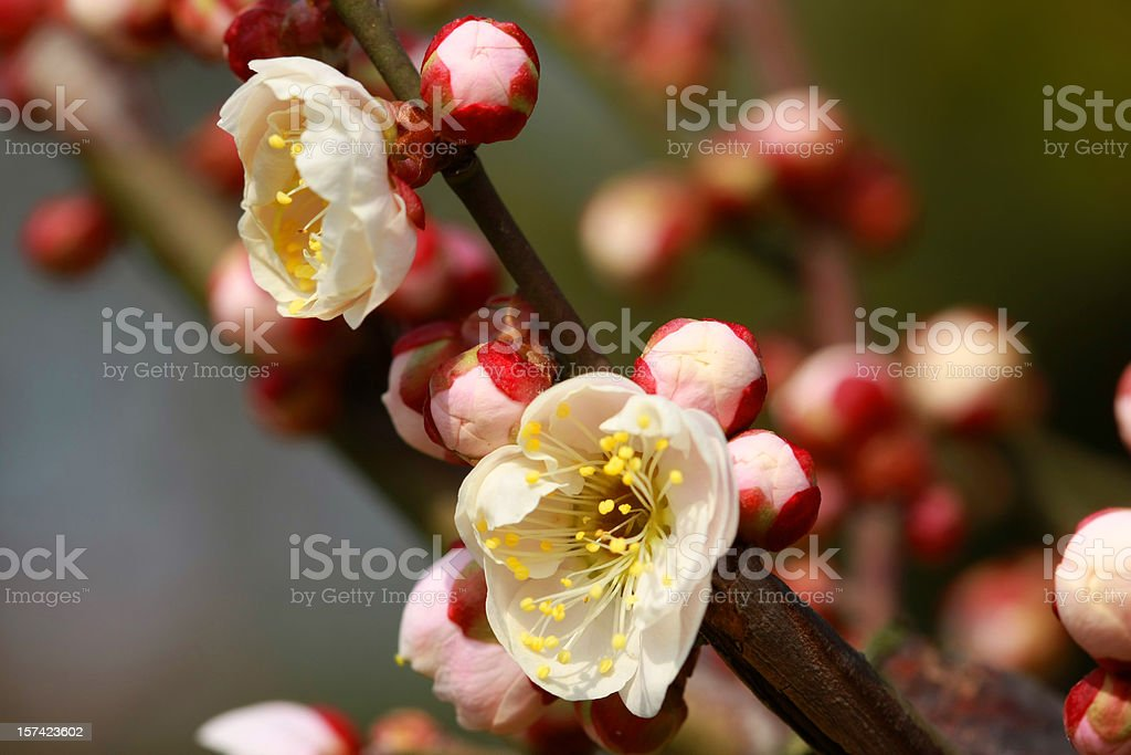 Spring Plum Blossoms in Shanghai royalty-free stock photo