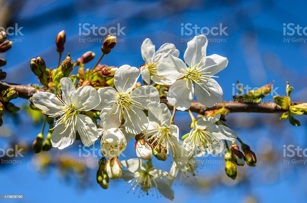 Ciruelo soleado de primavera con flores blancas foto de stock libre de derechos