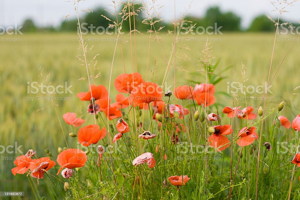 Spring Poppies royalty-free stock photo
