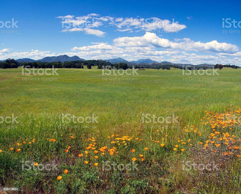 Spring poppies stock photo