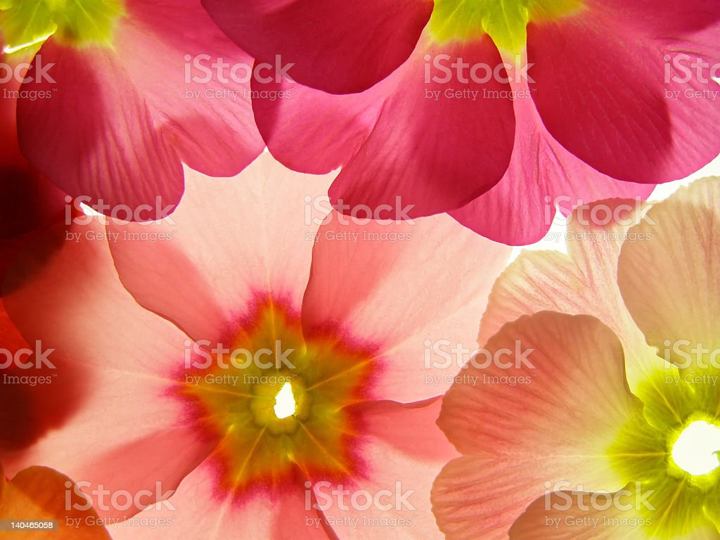 spring primula royalty-free stock photo