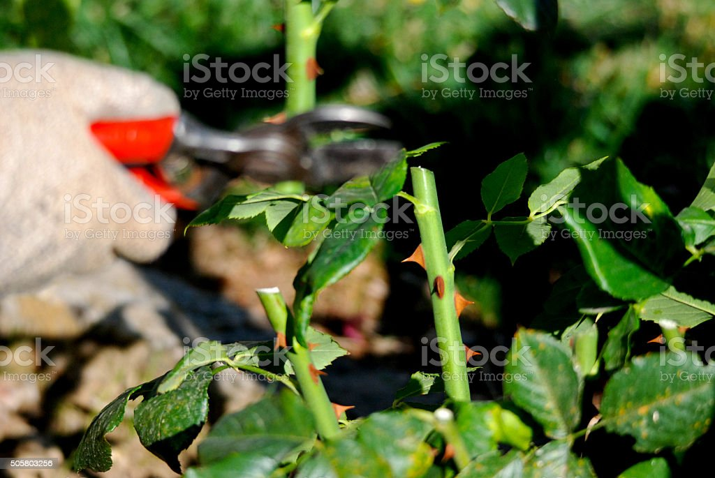 Spring pruning of a rose bush stock photo