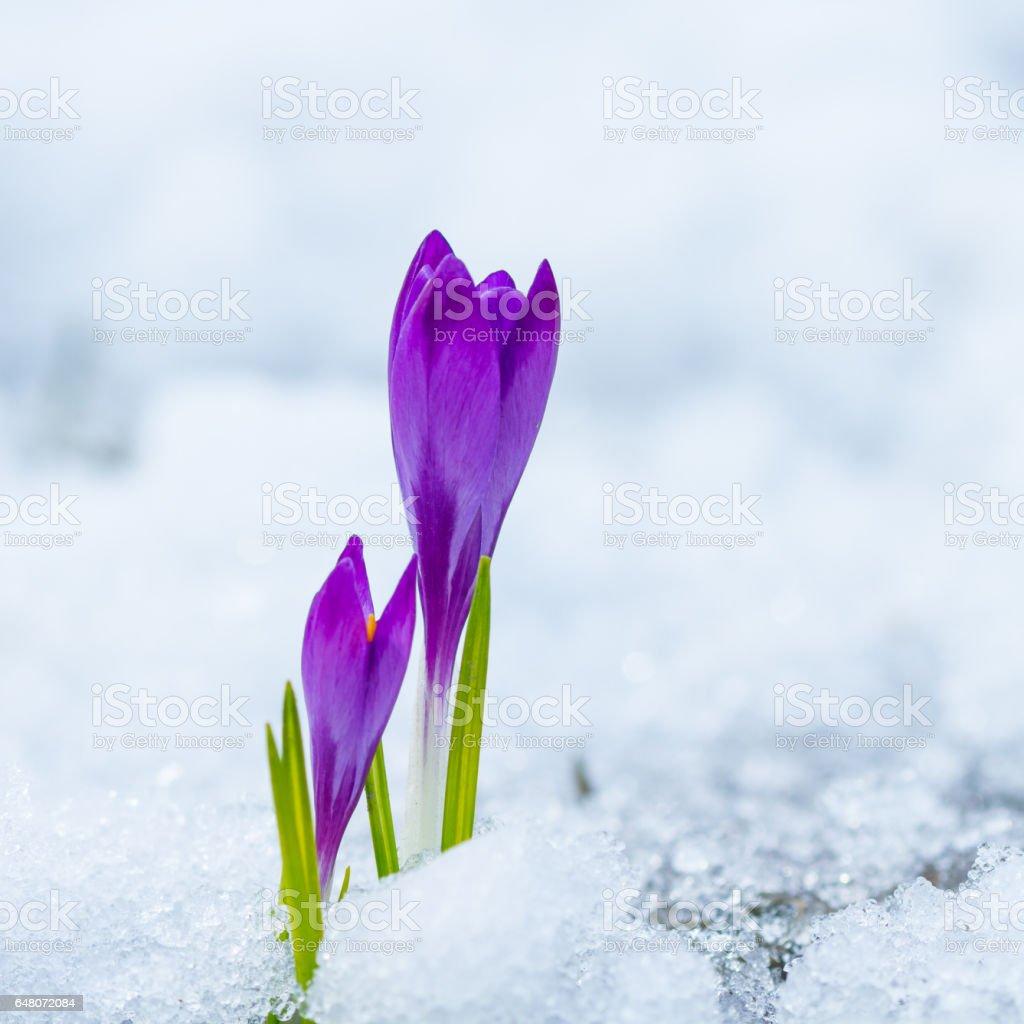 Spring purple crocuses stock photo