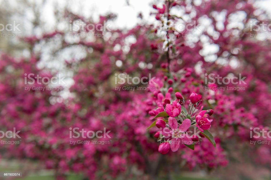 spring - purple plum tree blossoms stock photo