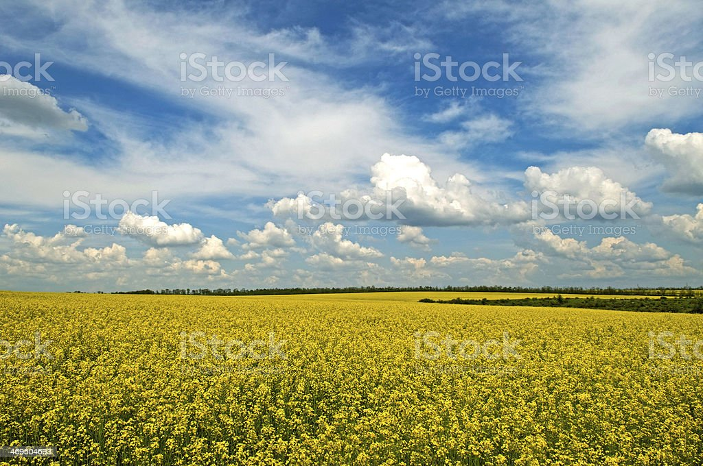 Spring - rape field stock photo