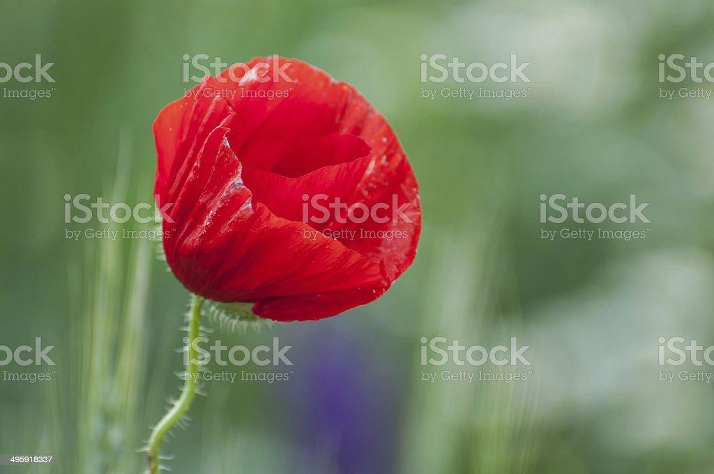 Spring red poppy flower royalty-free stock photo