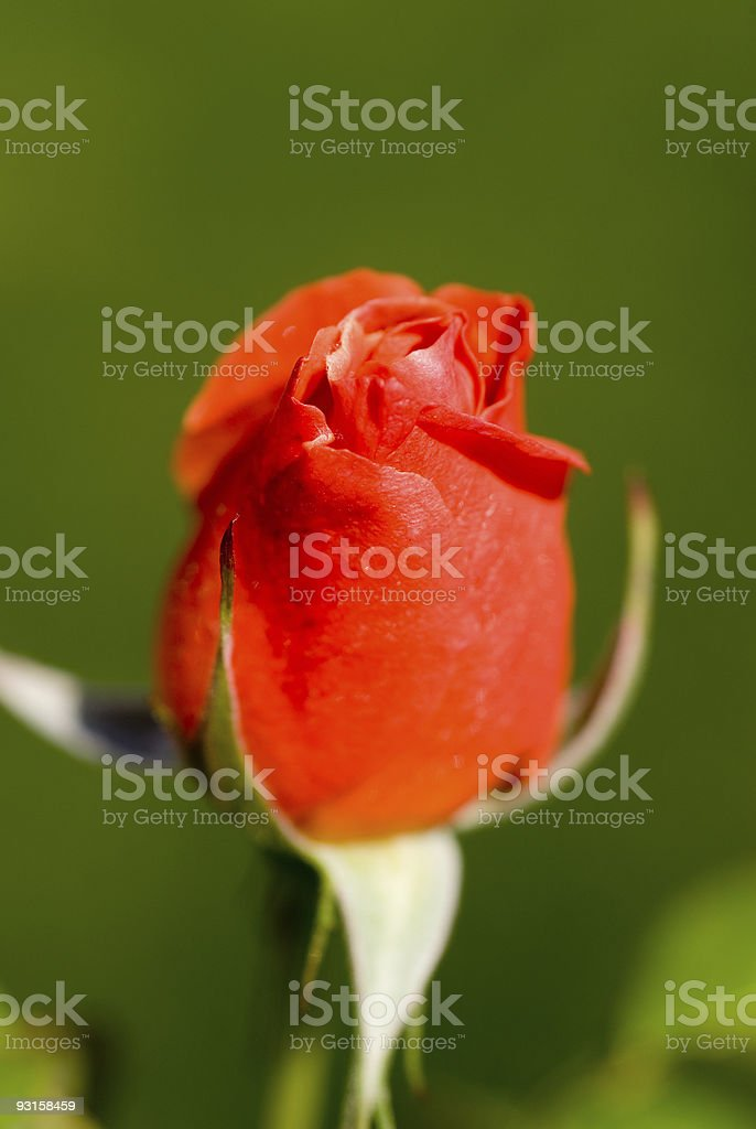 Spring Red Rose stock photo