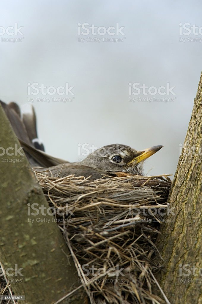 Spring Robin Guarding Eggs on Nest royalty-free stock photo